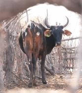 i-cow-in-kraal_neil-jordan.jpg