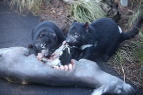 Tasmanian_Devil (1)
